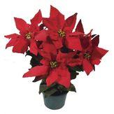Poinsettia Vermelha Pote 11